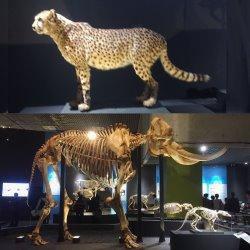 チーターの剥製と象の骨