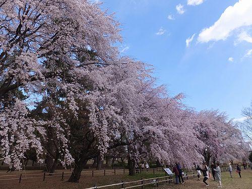 20190403群馬県前橋市、敷島公園の枝垂れ桜1