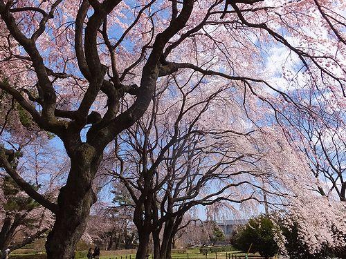 20190403群馬県前橋市、敷島公園の枝垂れ桜2