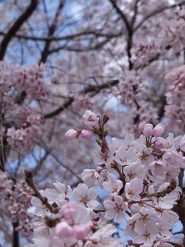 20190403群馬県前橋市、敷島公園の枝垂れ桜3