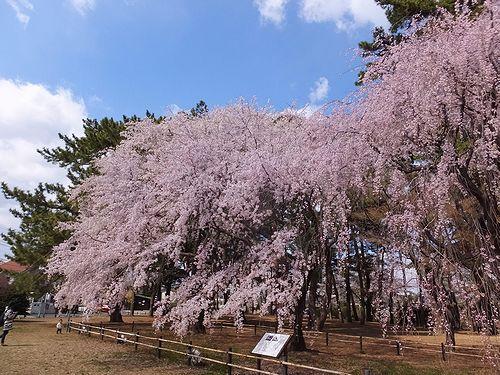 20190403群馬県前橋市、敷島公園の枝垂れ桜4