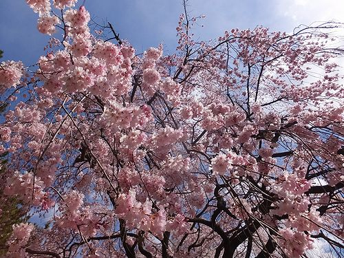 20190403群馬県前橋市、敷島公園の枝垂れ桜5