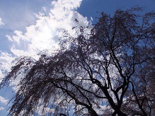 20190403前橋市、敷島公園の枝垂れ桜 (6)
