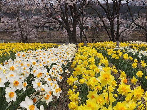 20190417東吾妻町岩井親水公園 (7)