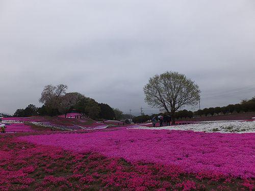 20190424群馬県高崎市、みさと芝桜公園 (1)