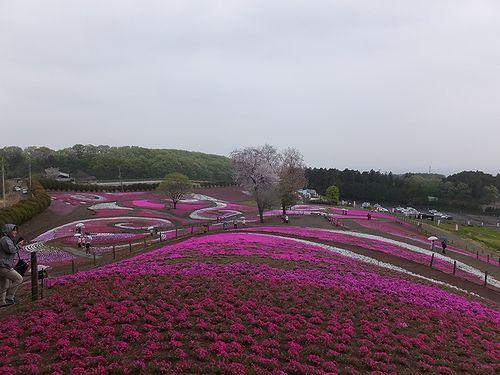 20190424群馬県高崎市、みさと芝桜公園 (3)