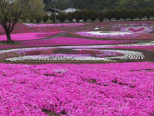 20190424群馬県高崎市、みさと芝桜公園 (4)