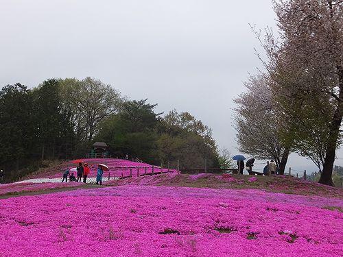 20190424群馬県高崎市、みさと芝桜公園 (5)