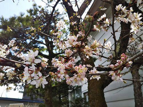 20190504草津温泉民泊花栞(はなしおり)庭の桜