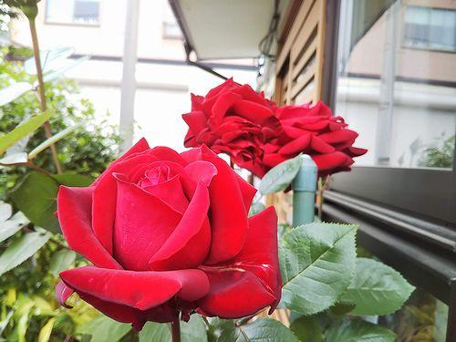 20190702草津温泉民泊花栞(はなしおり)エントランスに咲くバラ (1)