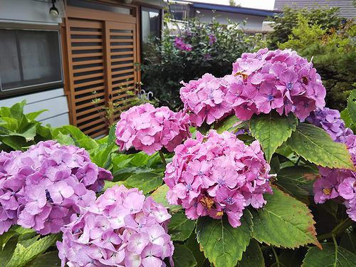 20190818草津温泉民泊花栞(はなしおり)玄関前のあじさい (1)