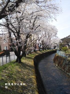 20200415群馬県中之条町、保健所近くの桜 (1)
