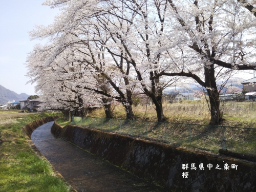 20200415群馬県中之条町、保健所近くの桜 (2)