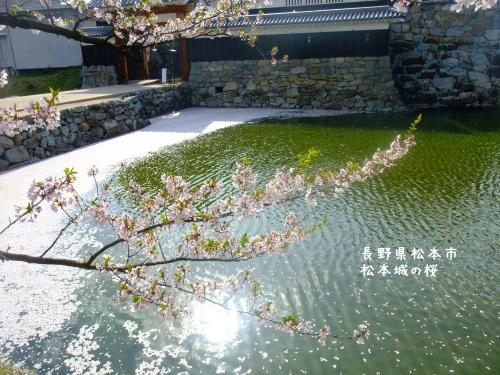 20140424長野県松本市、松本城の桜 (5)