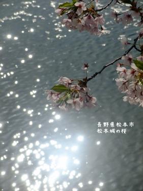 20140424長野県松本市、松本城の桜 (6)