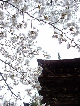 20110426長野県佐久市、新海三社神社・三重塔の桜 (5)