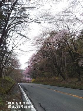 20200504群馬県草津町、桜 (1)