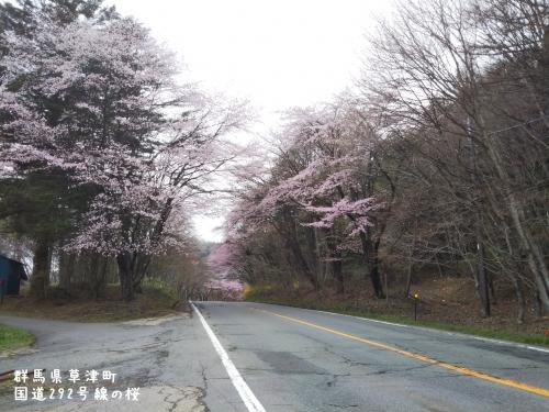 20200504群馬県草津町、桜 (2)