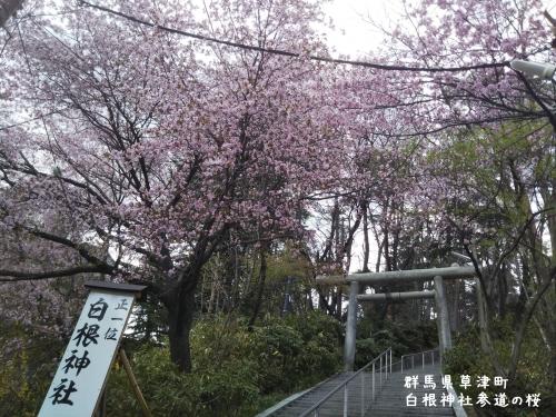 20200505群馬県草津町、白根神社参道の桜