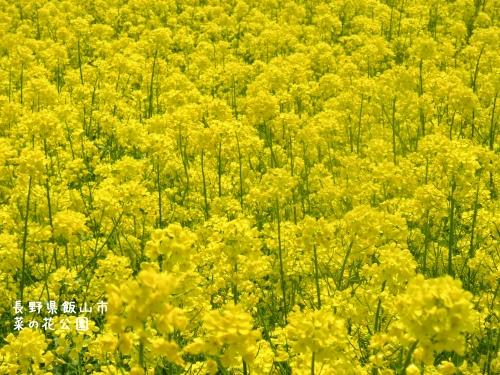 20120507長野県飯山市、菜の花公園 (3)