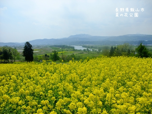 20120507長野県飯山市、菜の花公園 (4)