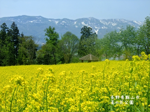20120507長野県飯山市、菜の花公園 (5)