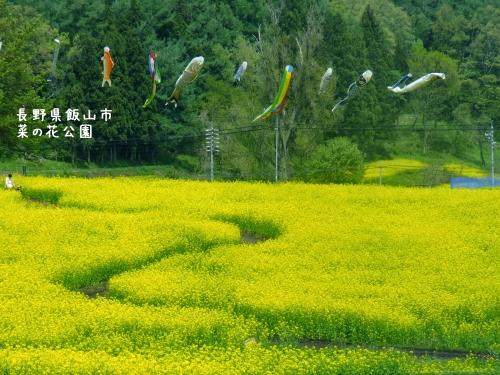20120507長野県飯山市、菜の花公園 (6)