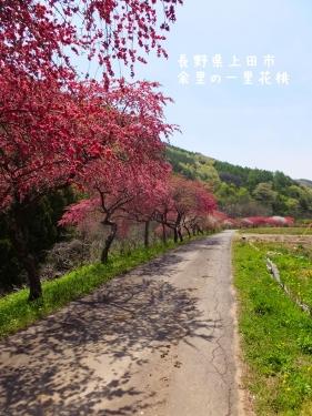 20140508長野県上田市、余里の一里花桃 (2)
