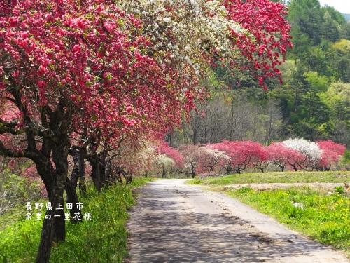 20140508長野県上田市、余里の一里花桃 (1)