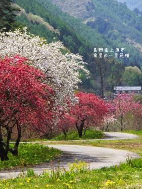 20140508長野県上田市、余里の一里花桃 (4)