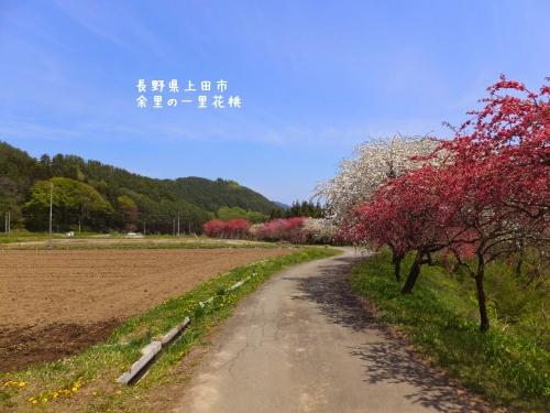 20140508長野県上田市、余里の一里花桃 (5)