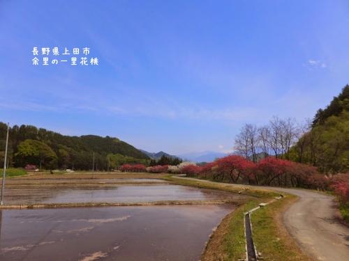 20140508長野県上田市、余里の一里花桃 (6)