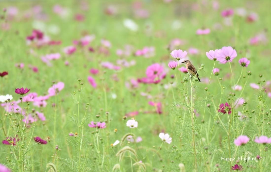 DSC_7981-ノビタキ(ポーズ)とコスモス-blog