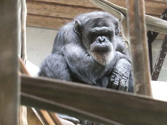 国内の雄チンパンジーでは2番目に長生きの「タロー」