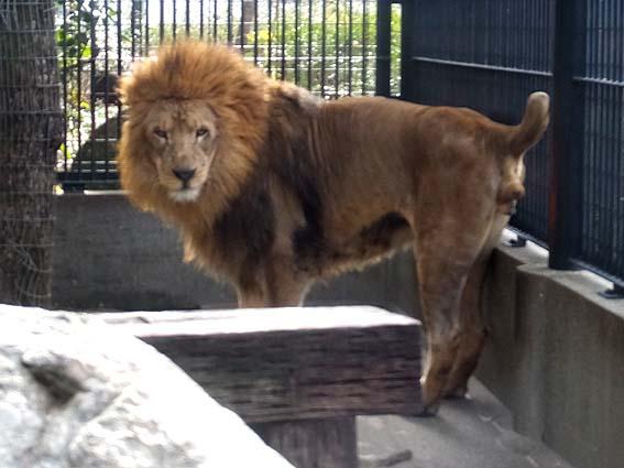 わんぱーくこうちの雄ライオン「キズナ」