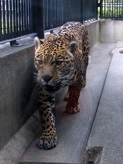 わんぱーくこうちの雄ジャガー「ルモ」