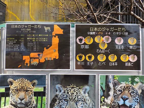 日本のジャガーたち