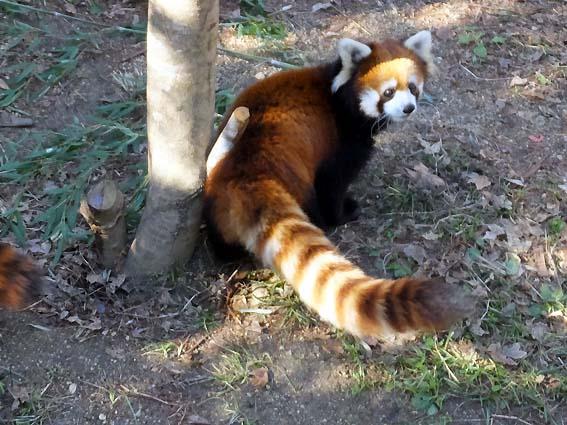 のいち動物公園のレッサーパンダ