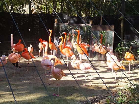のいち動物公園のフラミンゴ