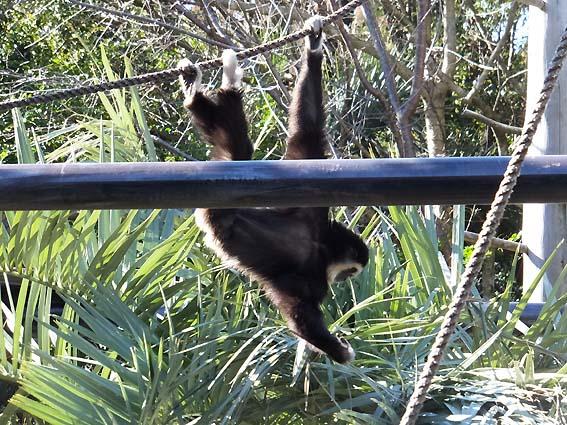 のいち動物公園のシロテナガザル