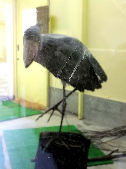 のいち動物公園のよく動くハシビロコウ