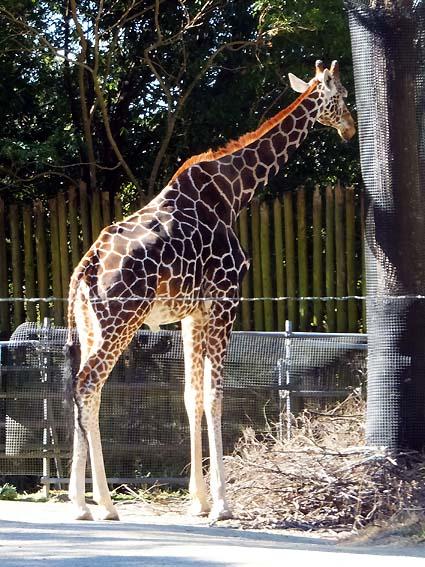 のいち動物公園のアミメキリン