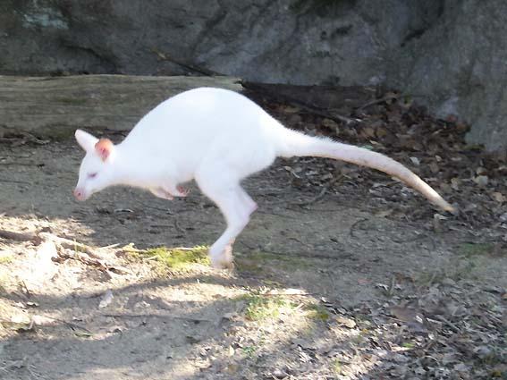 のいち動物公園の白いカンガルー
