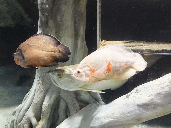 のいち動物公園で見られる大型魚