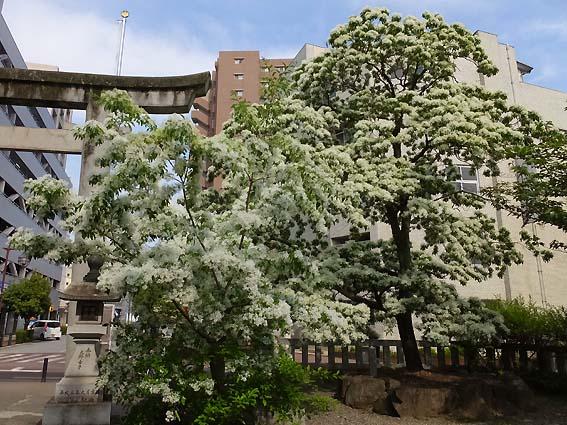 金神社のなんじゃもんじゃの木