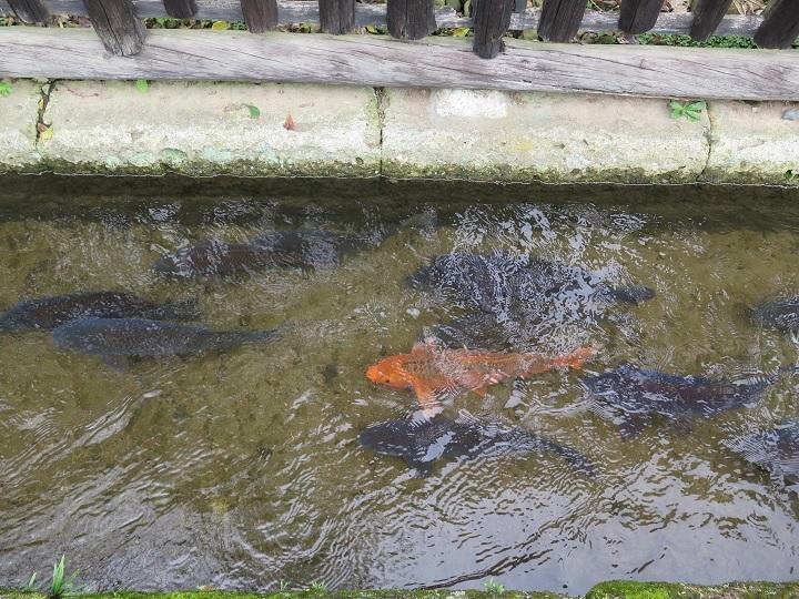 御用堀の鯉