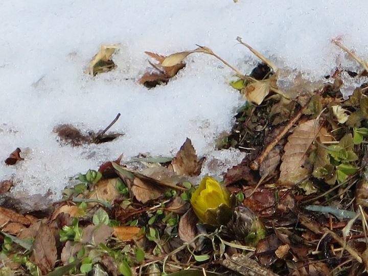 雪とフクジュソウ