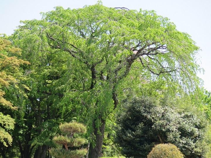 松平子爵邸跡の枝垂れ桜
