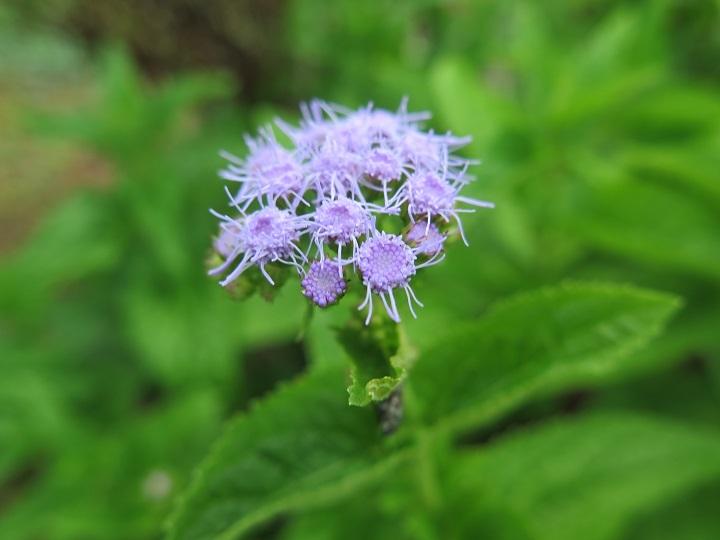 ユーパトリウム紫