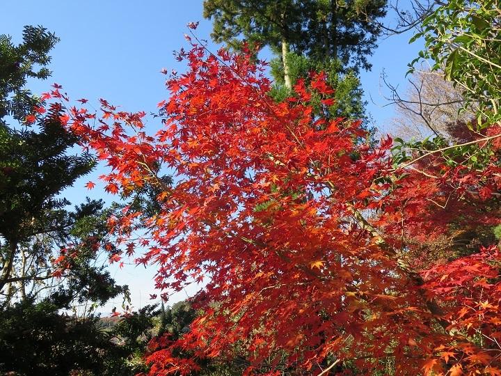 古屋敷の紅葉